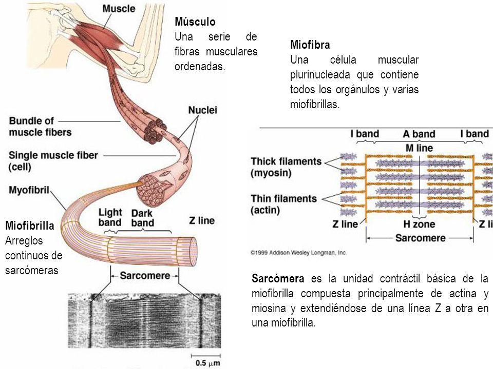 MúsculoUna serie de fibras musculares ordenadas. Miofibra. Una célula muscular plurinucleada que contiene todos los orgánulos y varias miofibrillas.