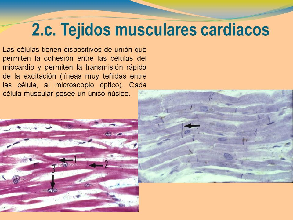 2.c. Tejidos musculares cardiacos