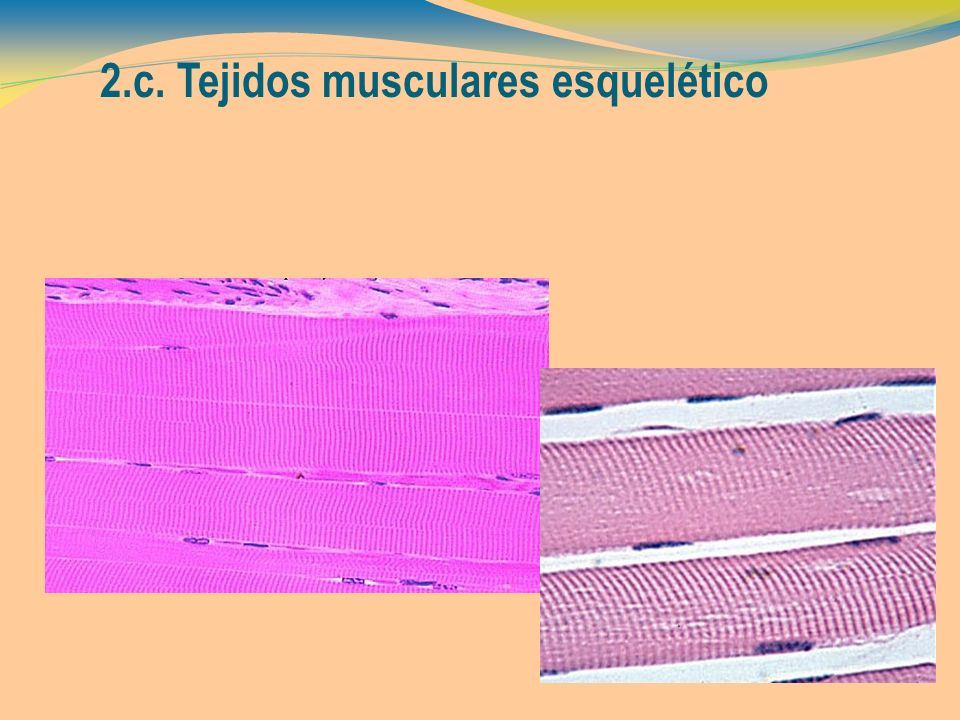 2.c. Tejidos musculares esquelético