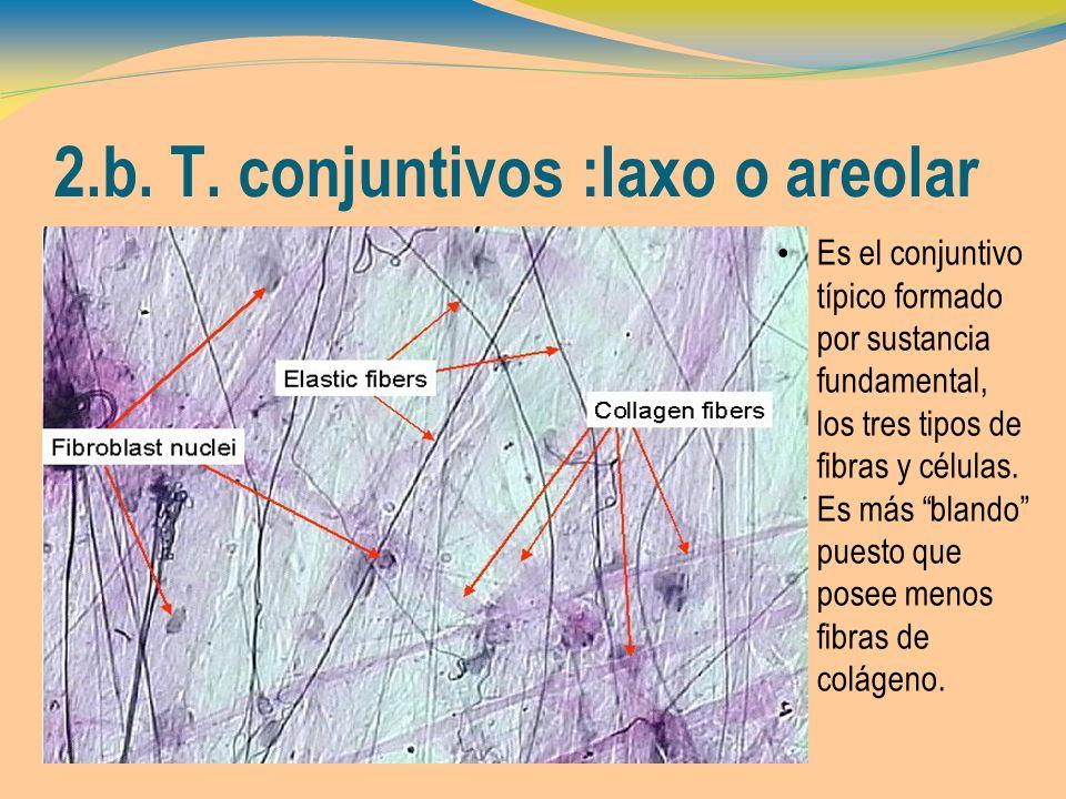2.b. T. conjuntivos :laxo o areolar