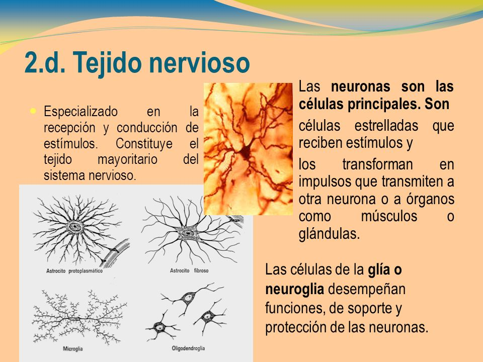 2.d. Tejido nervioso Las neuronas son las células principales. Son