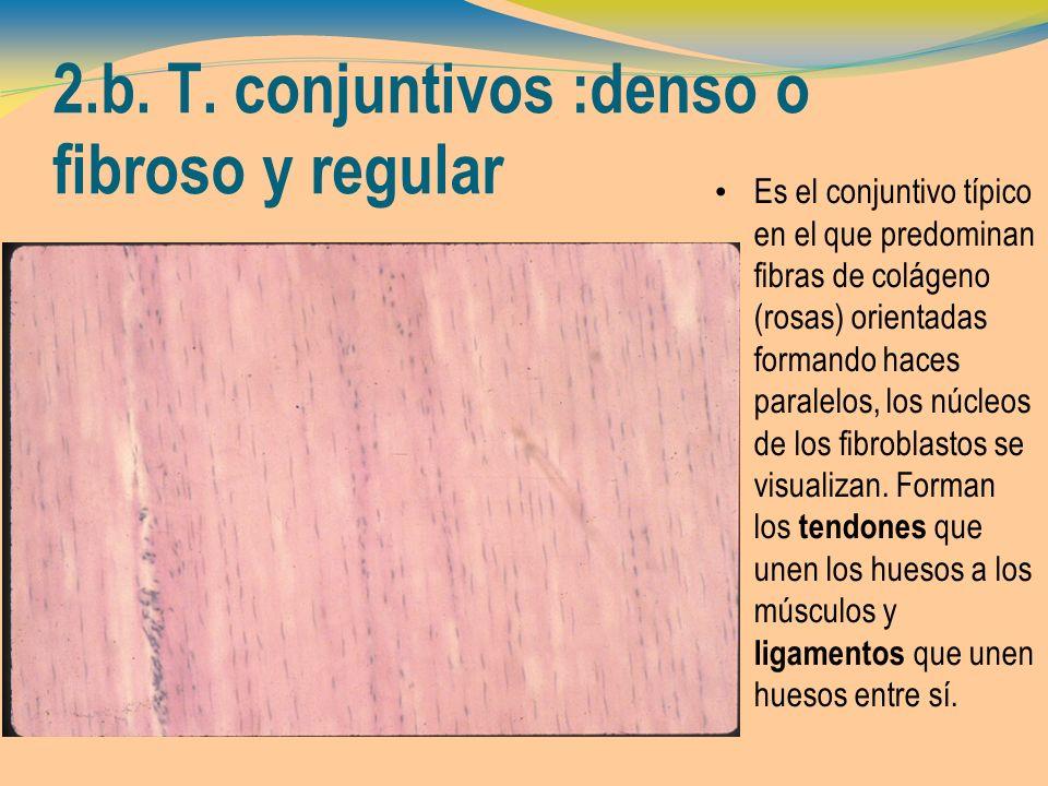 2.b. T. conjuntivos :denso o fibroso y regular