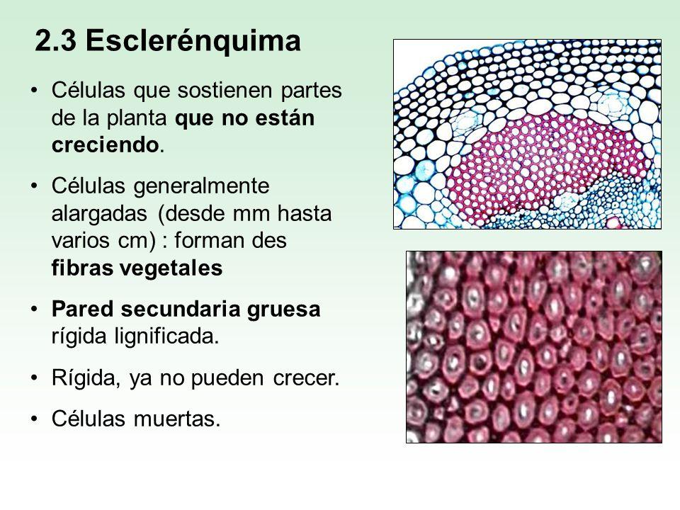 2.3 EsclerénquimaCélulas que sostienen partes de la planta que no están creciendo.