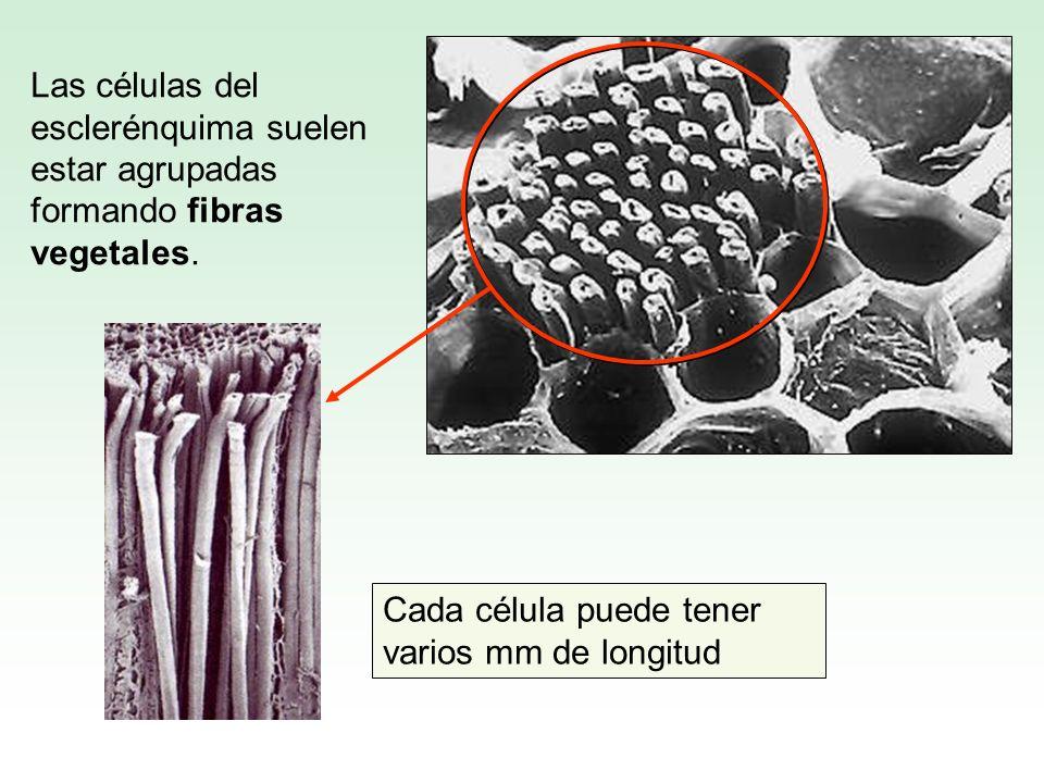 Las células del esclerénquima suelen estar agrupadas formando fibras vegetales.