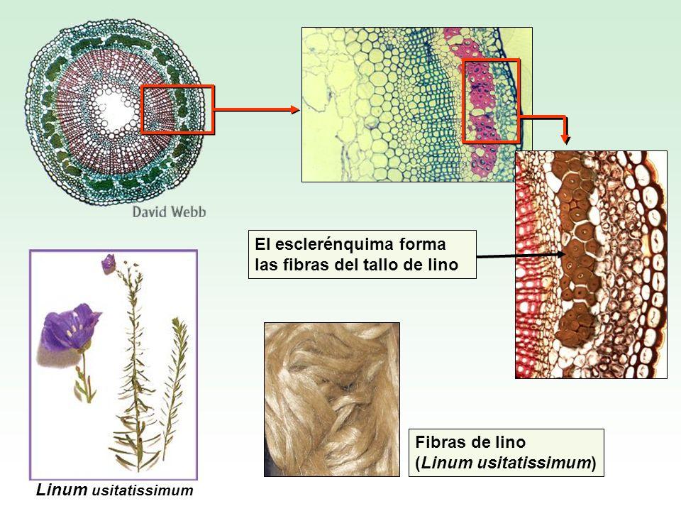 El esclerénquima forma las fibras del tallo de lino