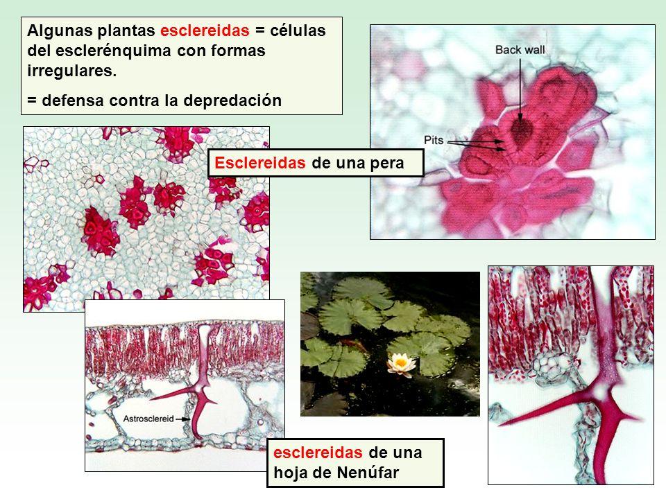 Algunas plantas esclereidas = células del esclerénquima con formas irregulares.
