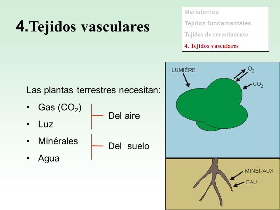 4.Tejidos vasculares Las plantas terrestres necesitan: Gas (CO2) Luz