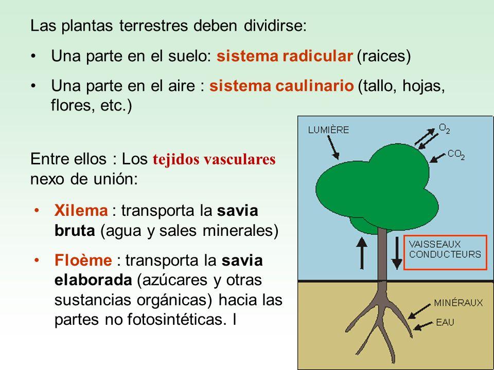 Las plantas terrestres deben dividirse: