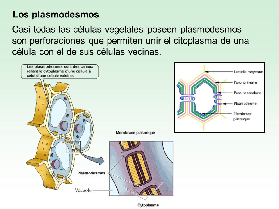 Los plasmodesmos