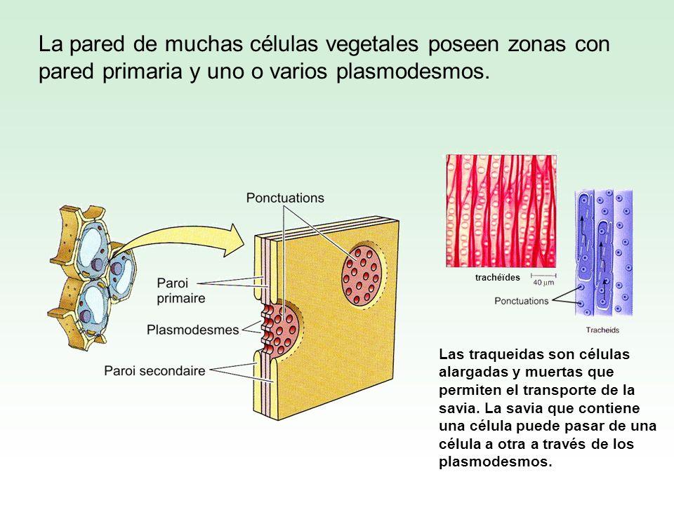 La pared de muchas células vegetales poseen zonas con pared primaria y uno o varios plasmodesmos.