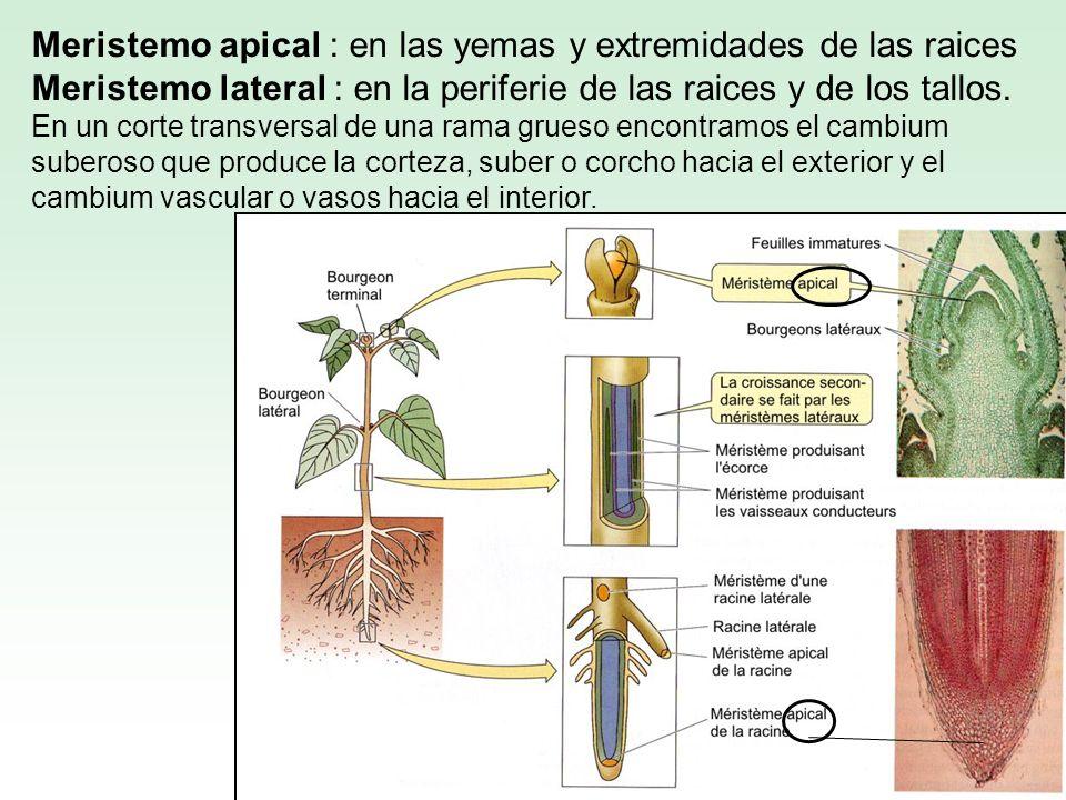 Meristemo apical : en las yemas y extremidades de las raices Meristemo lateral : en la periferie de las raices y de los tallos.