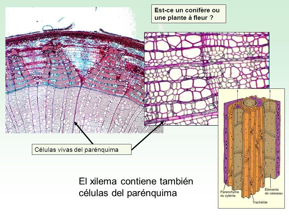 El xilema contiene también células del parénquima