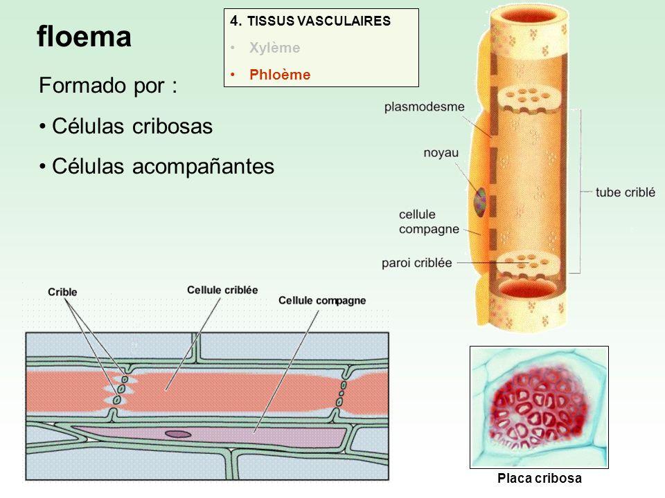 floema Formado por : Células cribosas Células acompañantes