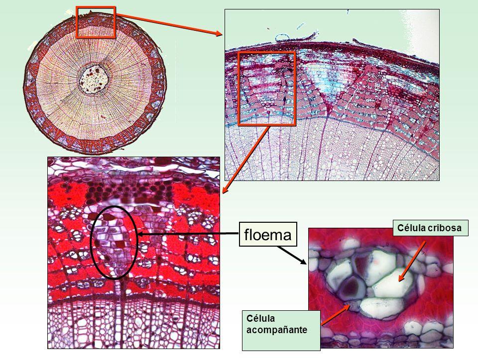floema Célula cribosa Célula acompañante