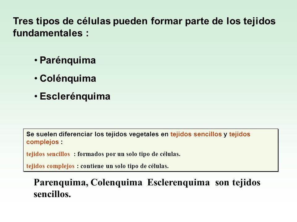 Parenquima, Colenquima Esclerenquima son tejidos sencillos.