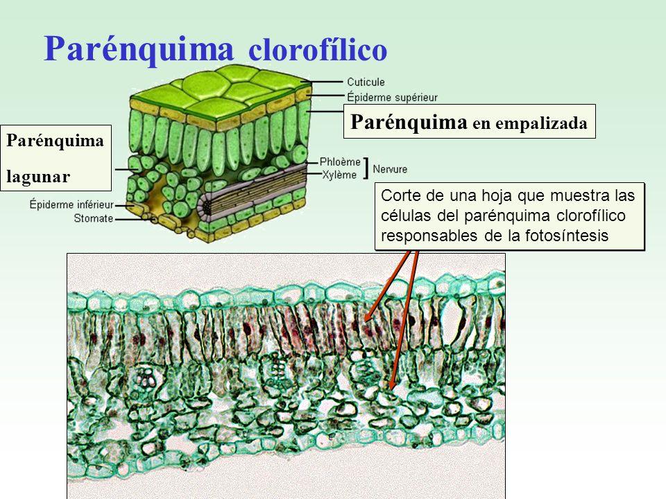 Parénquima clorofílico