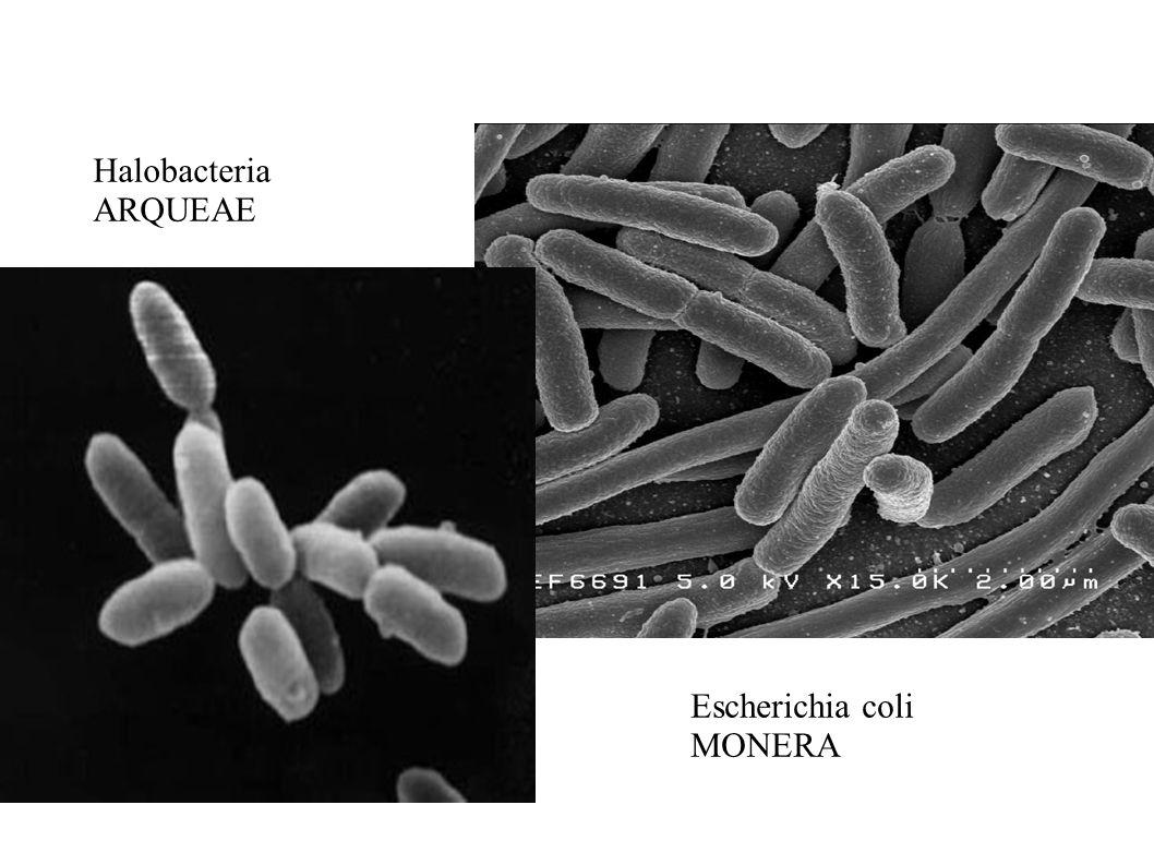 Halobacteria ARQUEAE Escherichia coli MONERA