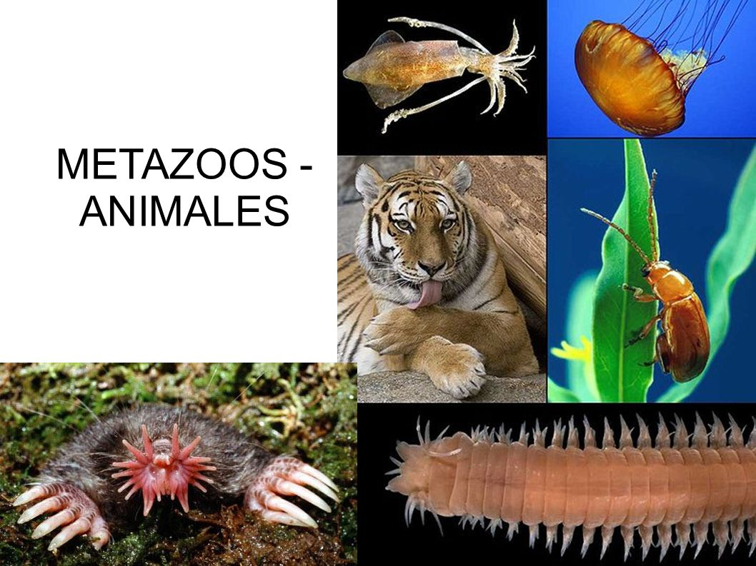 METAZOOS - ANIMALES