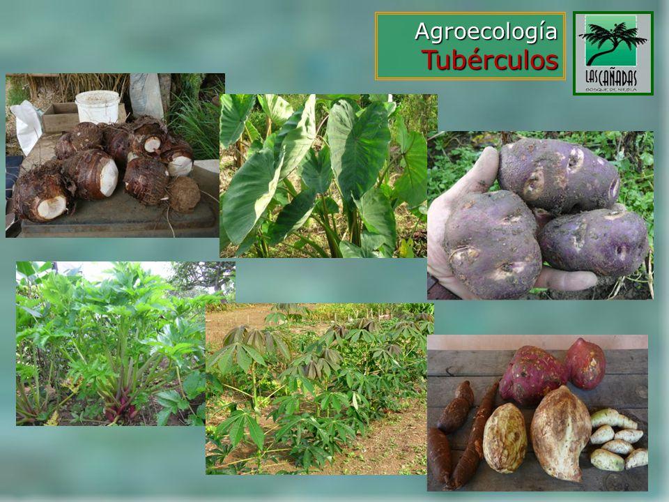 Agroecología Tubérculos
