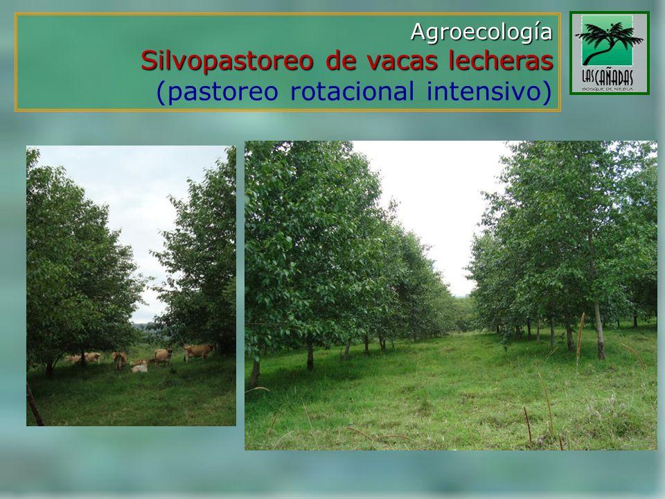 Silvopastoreo de vacas lecheras (pastoreo rotacional intensivo)