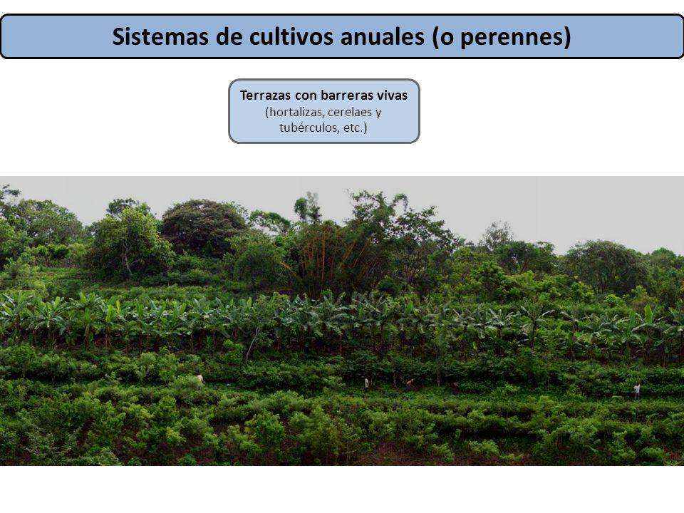 Sistemas de cultivos anuales (o perennes) Terrazas con barreras vivas