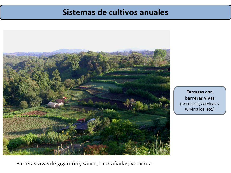 Sistemas de cultivos anuales Terrazas con barreras vivas