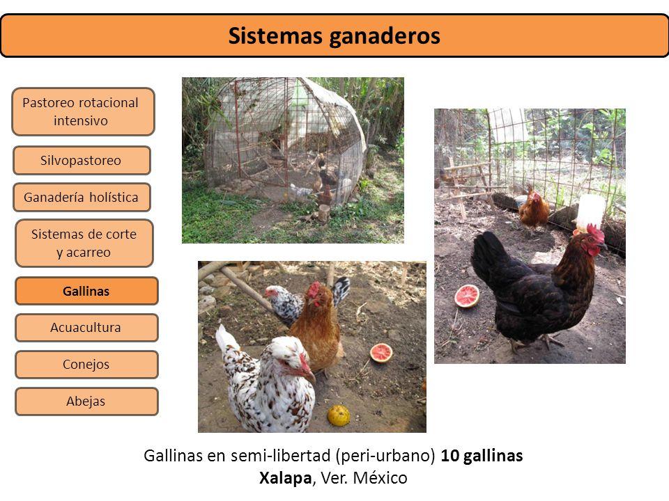 Sistemas ganaderos Gallinas en semi-libertad (peri-urbano) 10 gallinas