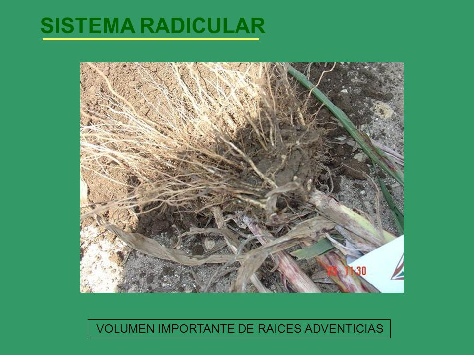 SISTEMA RADICULAR VOLUMEN IMPORTANTE DE RAICES ADVENTICIAS