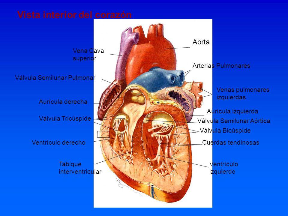 Vista interior del corazón