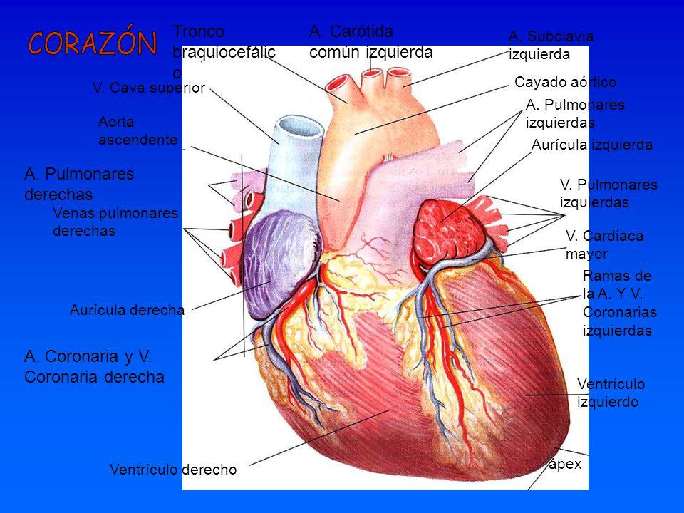 Tronco braquiocefálico A. Carótida común izquierda
