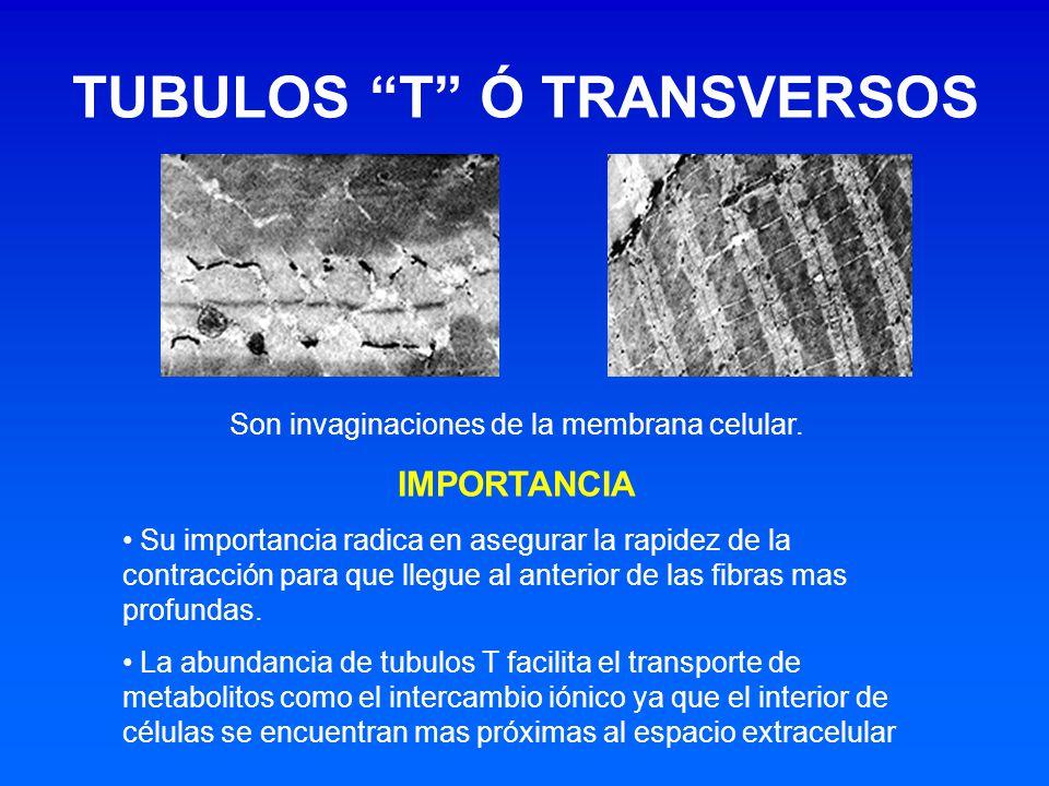 TUBULOS T Ó TRANSVERSOS