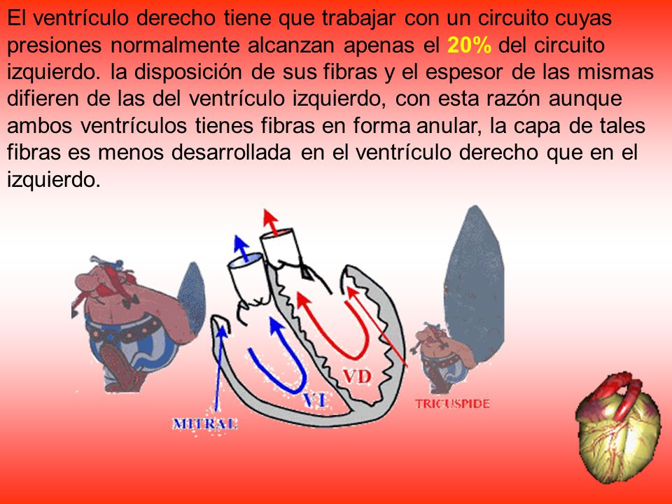 El ventrículo derecho tiene que trabajar con un circuito cuyas presiones normalmente alcanzan apenas el 20% del circuito izquierdo.
