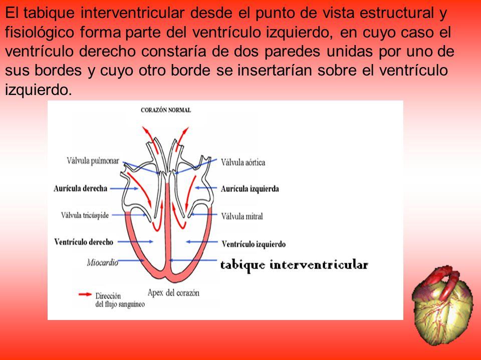 El tabique interventricular desde el punto de vista estructural y fisiológico forma parte del ventrículo izquierdo, en cuyo caso el ventrículo derecho constaría de dos paredes unidas por uno de sus bordes y cuyo otro borde se insertarían sobre el ventrículo izquierdo.