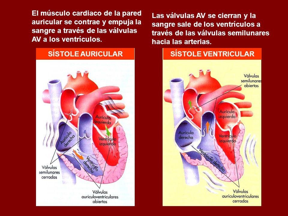 El músculo cardiaco de la pared auricular se contrae y empuja la sangre a través de las válvulas AV a los ventrículos.
