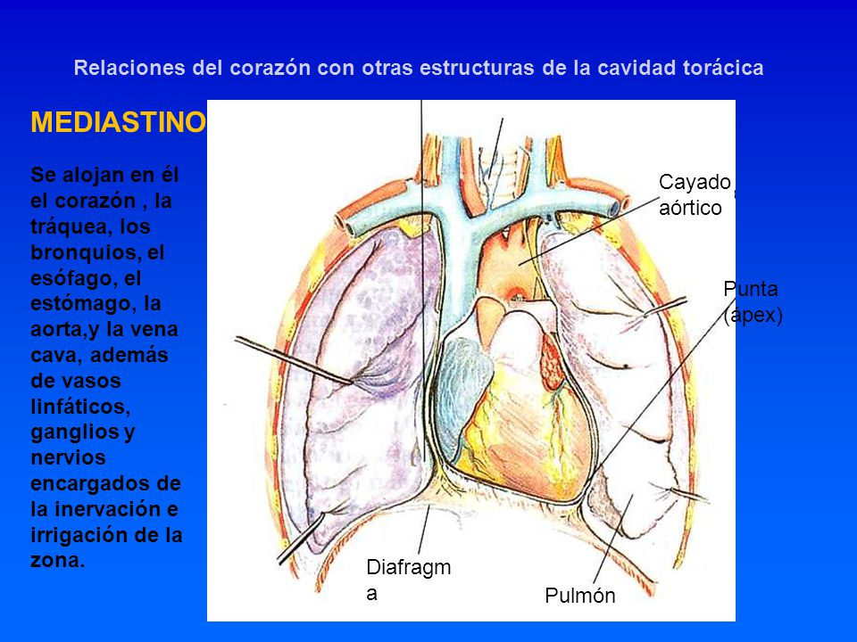 Relaciones del corazón con otras estructuras de la cavidad torácica