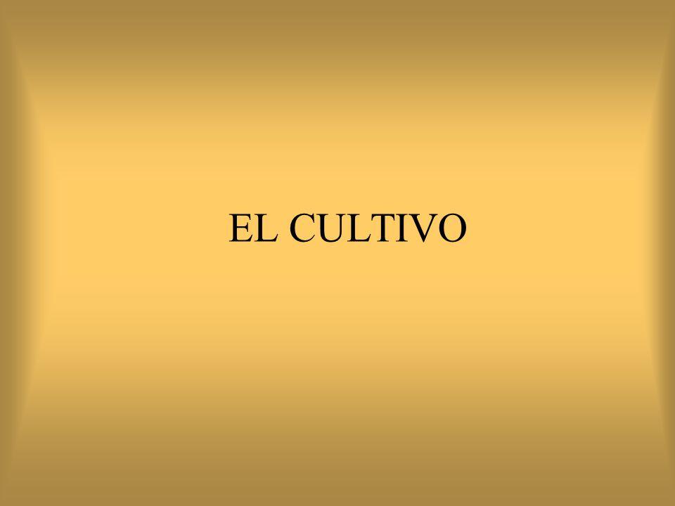 EL CULTIVO