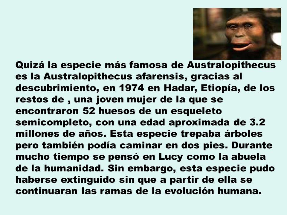 Quizá la especie más famosa de Australopithecus es la Australopithecus afarensis, gracias al descubrimiento, en 1974 en Hadar, Etiopía, de los restos de , una joven mujer de la que se encontraron 52 huesos de un esqueleto semicompleto, con una edad aproximada de 3.2 millones de años.