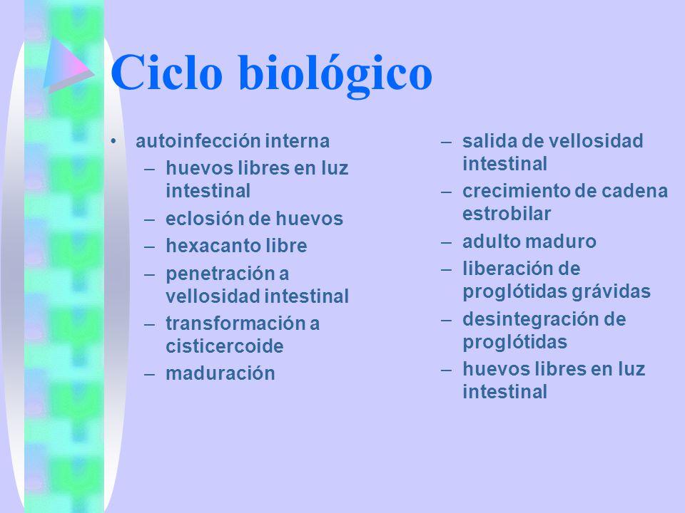 Ciclo biológico autoinfección interna huevos libres en luz intestinal
