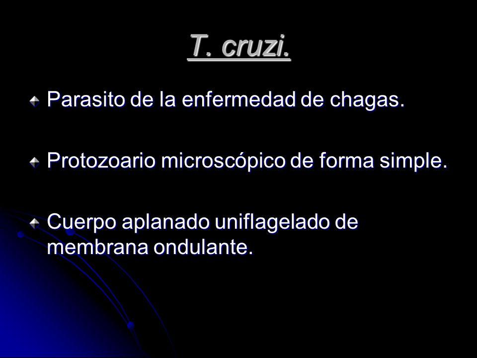 T. cruzi. Parasito de la enfermedad de chagas.