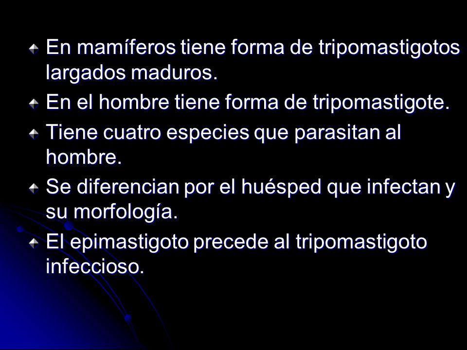 En mamíferos tiene forma de tripomastigotos largados maduros.