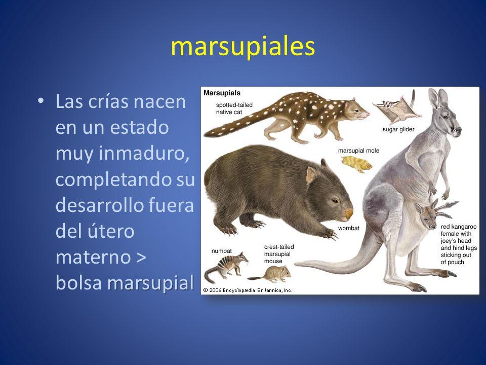 marsupiales Las crías nacen en un estado muy inmaduro, completando su desarrollo fuera del útero materno > bolsa marsupial.