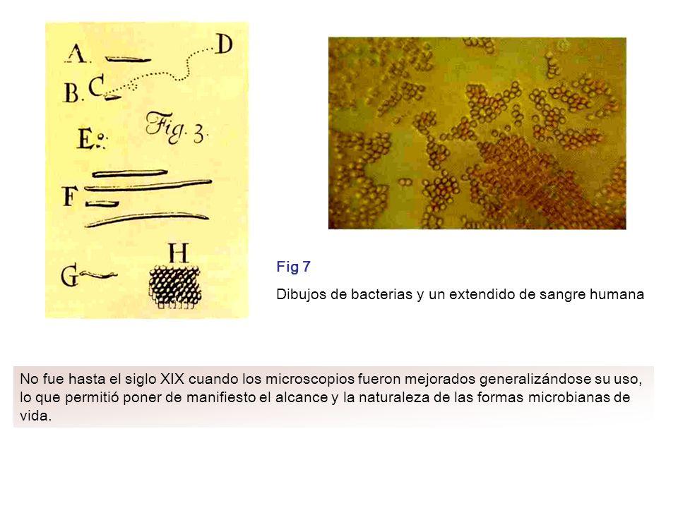 Fig 7 Dibujos de bacterias y un extendido de sangre humana.
