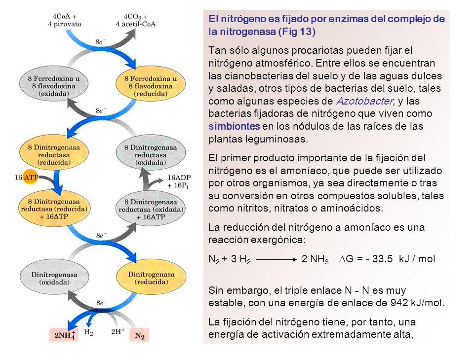 El nitrógeno es fijado por enzimas del complejo de la nitrogenasa (Fig 13)