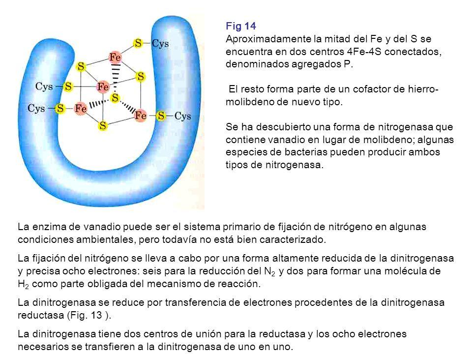 Fig 14 Aproximadamente la mitad del Fe y del S se encuentra en dos centros 4Fe-4S conectados, denominados agregados P.
