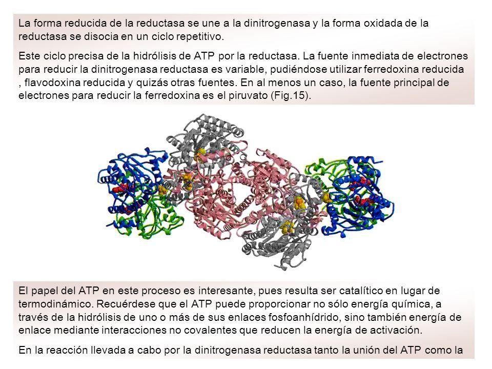 La forma reducida de la reductasa se une a la dinitrogenasa y la forma oxidada de la reductasa se disocia en un ciclo repetitivo.