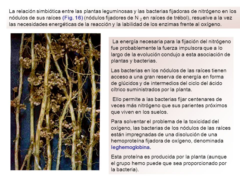 La relación simbiótica entre las plantas leguminosas y las bacterias fijadoras de nitrógeno en los nódulos de sus raíces (Fig. 16) (nódulos fijadores de N 2 en raíces de trébol), resuelve a la vez las necesidades energéticas de la reacción y la labilidad de los enzimas frente al oxígeno.
