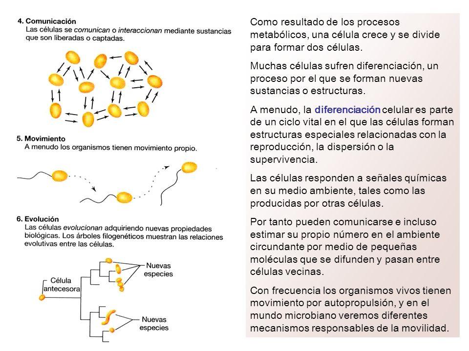 Como resultado de los procesos metabólicos, una célula crece y se divide para formar dos células.