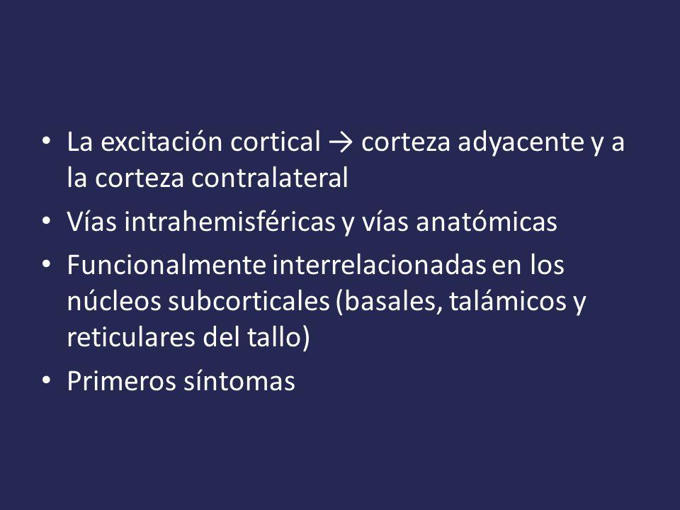 La excitación cortical → corteza adyacente y a la corteza contralateral