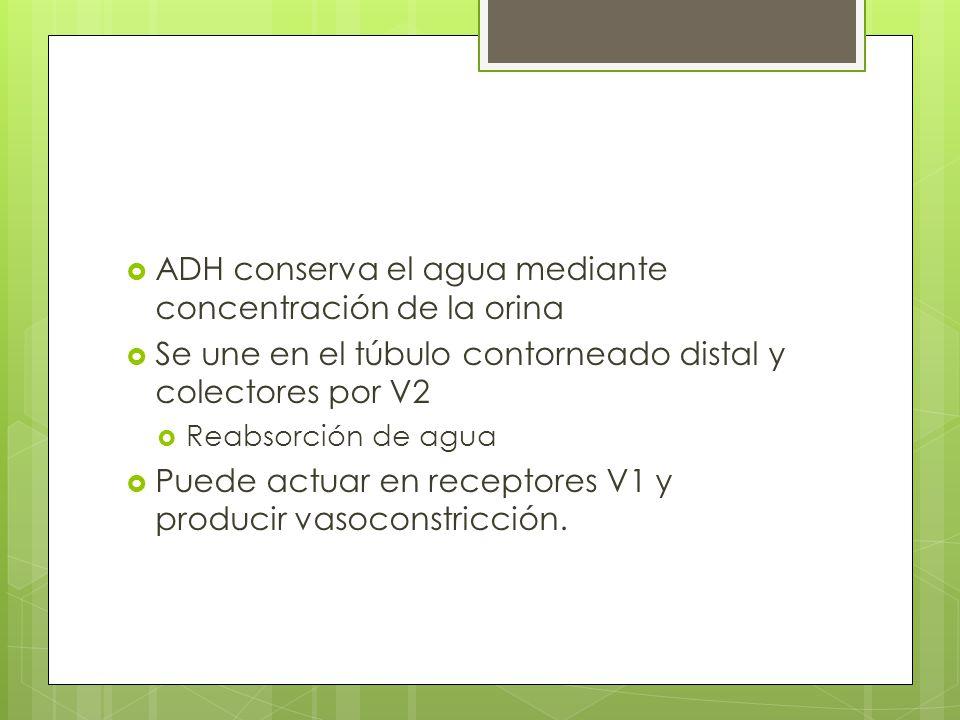 ADH conserva el agua mediante concentración de la orina