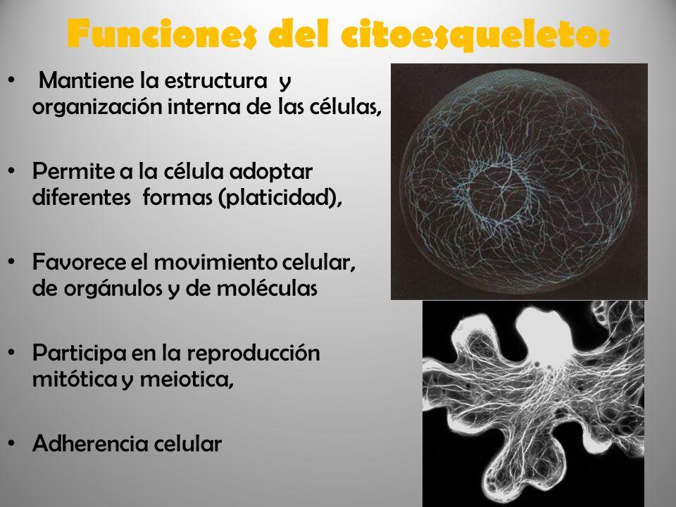 Funciones del citoesqueleto:
